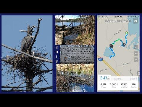 Beaver Damage, Great Blue Heron Rookery and Osprey Nest at Wollomonopoag Wrentham Massachusetts