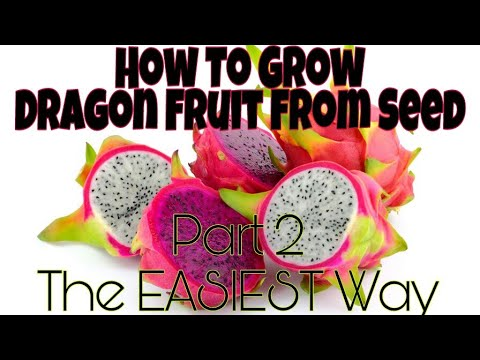 🌵How To Grow Dragon Fruit Plant From Seed!🌵 Part 2: The Easiest Way