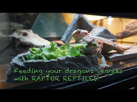 Feeding your Bearded Dragons Vegetables with RAPTOR REPTILES
