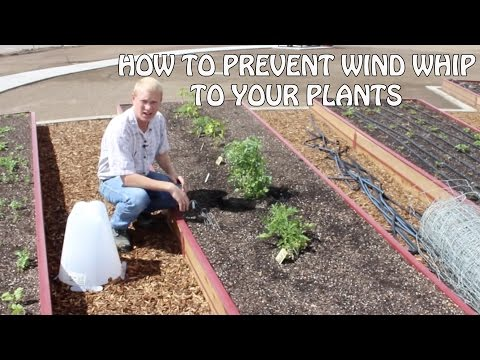 How To Prevent Wind Whip To Your Plants