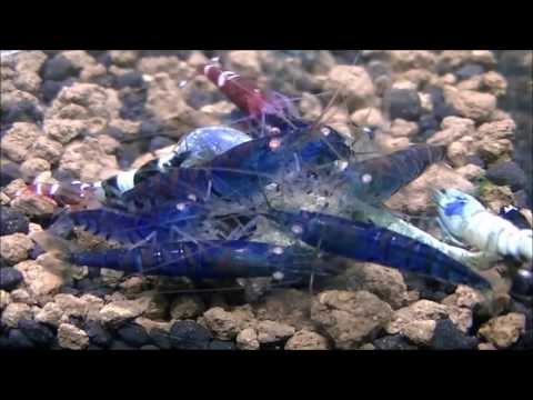 The Life Cycle Of The Shrimp: Baby (Keeping Them Alive)