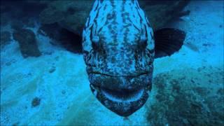 Giant Fish Attacks Spy Squid