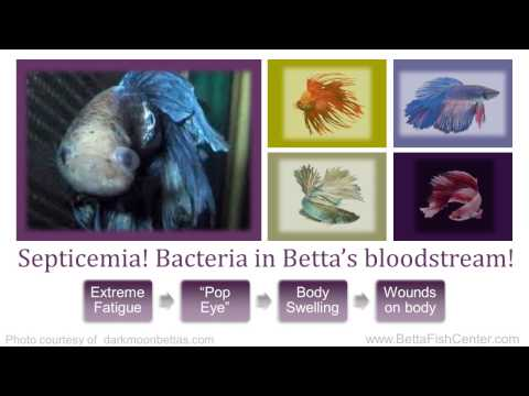 Betta Fish Diseases and Treatments - Part 2