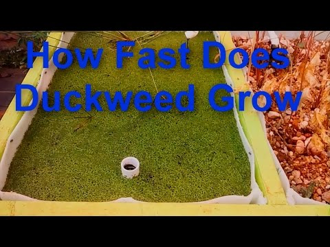How Fast Does Duckweed Grow?