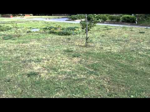 [Buffalo Lawn Care] [Sir Walter Buffalo] [St Augustine Grass] [Sir Walter Weed Control]