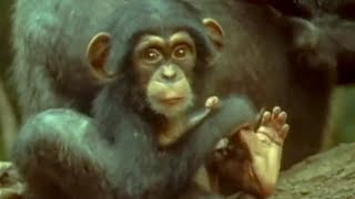 Cutest baby Chimp | early learnings | Attenborough: Trials of Life | BBC