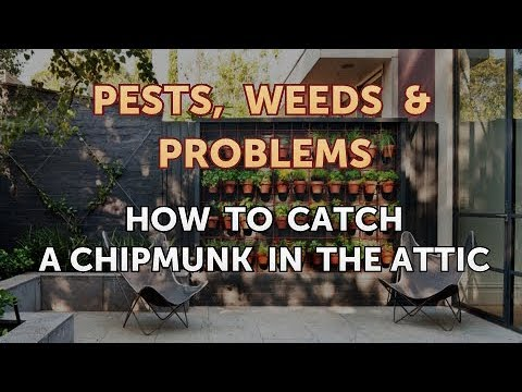 How to Catch a Chipmunk in the Attic