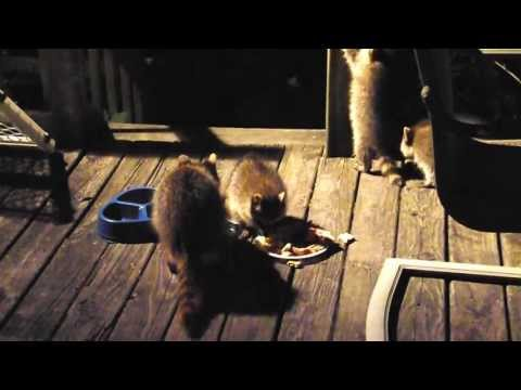 Raccoon and three babies eating on my deck