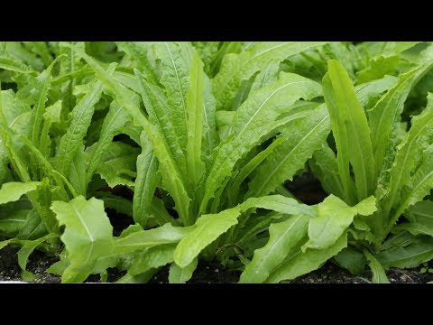 Introduce You Mai Choy  leafy chinese lettuce, healthy with great fragrance
