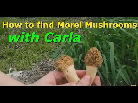 Morel Mushroom Hunting with Carla. How to find the edible GOLD!!!