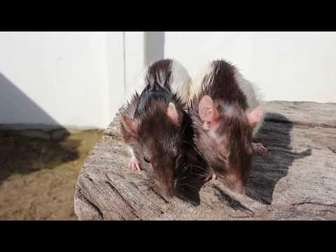 Pet rat tip: the olive oil treatment