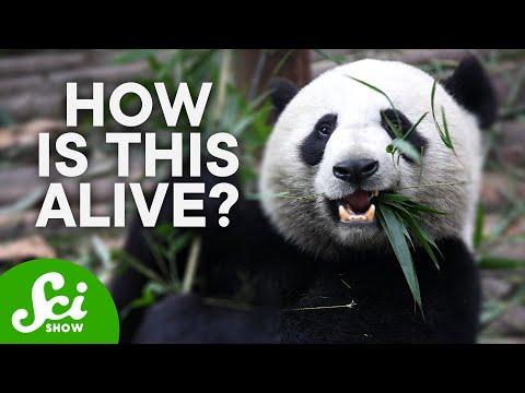 How Do Pandas Exist?