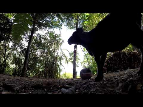 Angry Ram vs tetherball in the forest... 2 years later