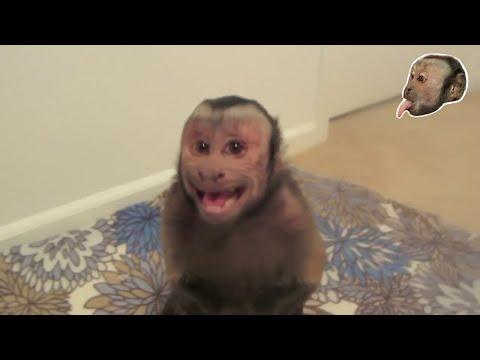 Capuchin Monkey Gets Mad!