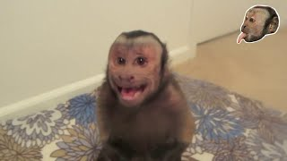 Capuchin Monkey Gets Mad!