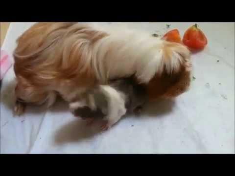 Guinea Pigs - Newborn to 1 month
