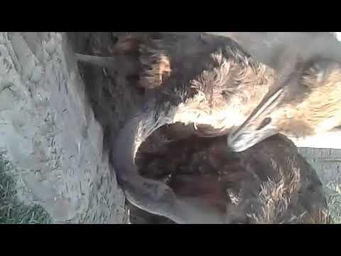 How to hatch ostrich eggs in Urdu/Hindi / Ostrich farming video part 2 / shuter murgh anda chooza