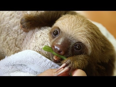 Eat Your Vegetables Like a Good Sloth!