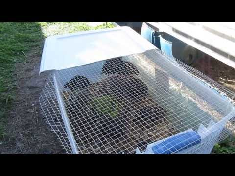 3 Week Old Jumbo Coturnix Quail Update: 3/1/2014: Moving From Brooder Box To New Outside Housing