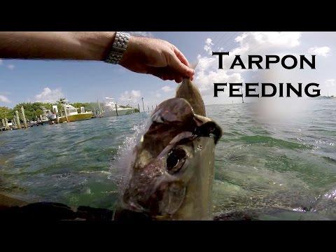 Tarpon Feeding at Robbies w/ GoPro