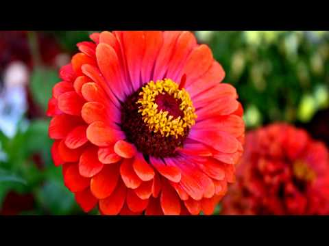 How to Grow Zinnia Plants at Home