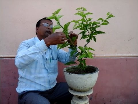 How to make a Bougainvillea Bonsai