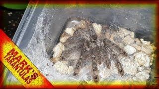 Heteroscodra Maculata - Rehousing My New Addition