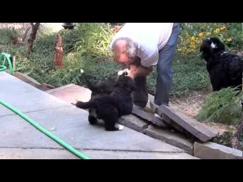 Bernese Mountain Dog Puppies-5 and 6 weeks old