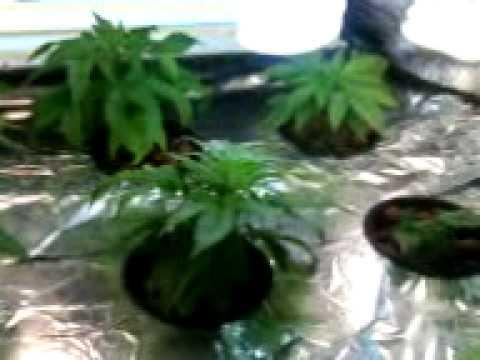 bubbleponic weed grow week 3.3GP