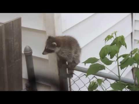 Baby Raccoons vs Vinyl Siding