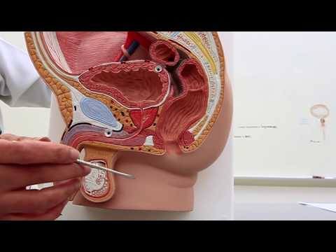 Position of the Bladder