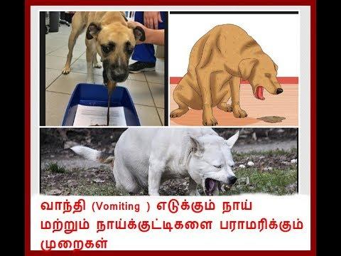 வாந்தி எடுக்குகும் நாய்க்குட்டிகளின் பராமரிப்பு (Management during vomiting in dogs