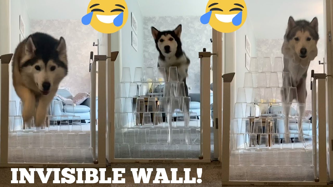 Huskies v Invisible Wall Challenge!! [FEMALE V PUPPY V MALE!] [WITH FUNNY CAPTIONS!!]