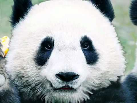 help save the panda bears