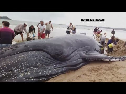 Crowds pull together to save beached whale in Brazil