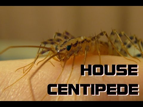 Just me holding a House Centipede