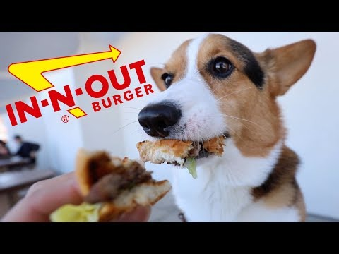 Corgi Tries In-N-Out Burger Dog Menu || Life After College: Ep. 589