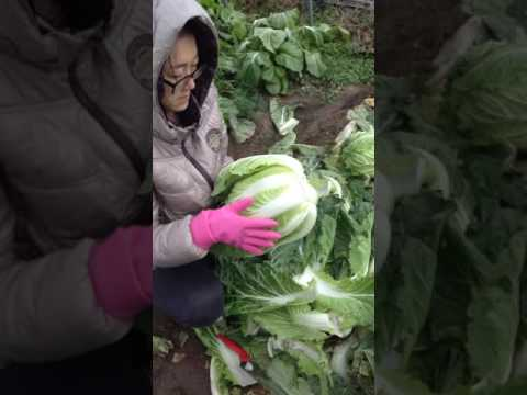Harvesting our Napa/Chinese Cabbage