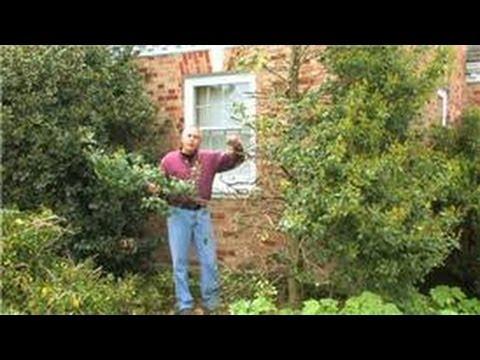 Gardening : How to Prune Hollies
