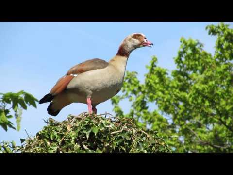 Noisy Egyptian Goose