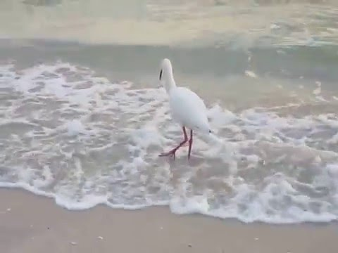 Ibis Hunting For Sand Fleas(Small Crabs),Gulf Of Mexico Sunset