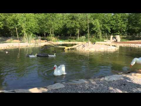 My pond, my ducks