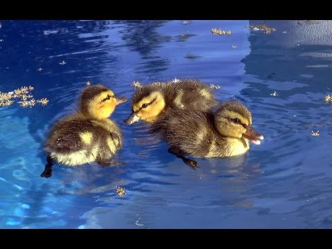 Baby ducks in my pool!  First day of life.  An amazing story.