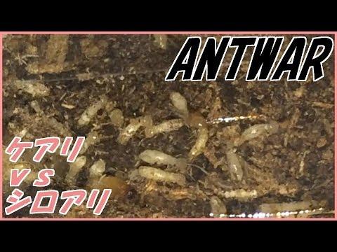 蟻戦争Ⅱ#26 ケアリVSシロアリ~命のバトンパス~ 編~ants vs termits~