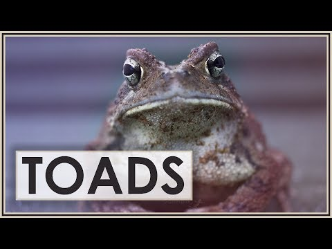 American Toads: A Very Underappreciated Animal