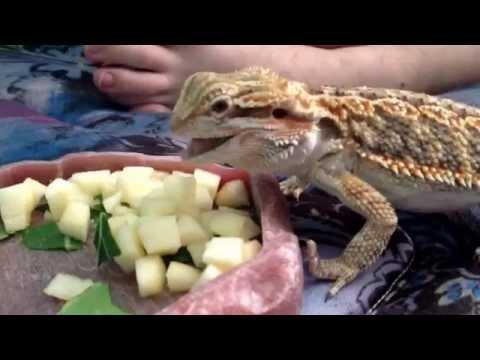Baby bearded dragon eating salad (collard greens and apples)