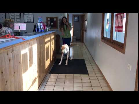 MY DOG Jumps for Joy literally after laceration surgery at Vet