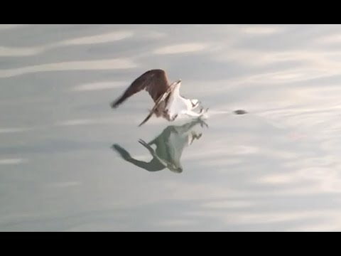 Osprey Catching Breakfast