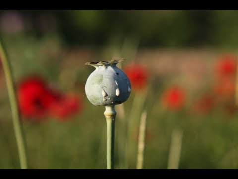 Why Opium Poppy Fields Are Rare in the US