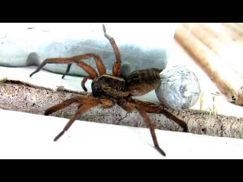 Giant Mother Garage Spider